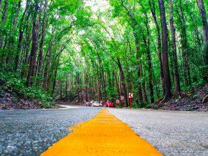 Лес красного дерева